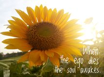 Free Inspirational Motivational Quote - When The Ego Dies, The Soul Awakes. With Background Of Morning Sunlight Over Sunflower Garden. Royalty Free Stock Photos - 166060918