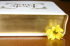 Inspirational Reading. A daisy marks where someone left off while last reading the Bible stock photography