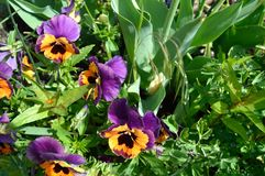 Inspire Purple and Orange Pansy. Botanical name Viola x wittrockiana `Inspire Purple & Orange` Genus: Viola Royalty Free Stock Photography