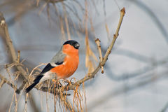 Bullfinch on a high branch Royalty Free Stock Photos