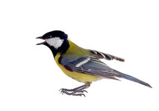 The inspired titmouse 2. Titmouse on a white background close up. spring Royalty Free Stock Image