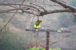 Inställd papegoja Fotografering för Bildbyråer