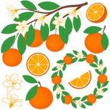 inställda apelsiner Royaltyfria Bilder