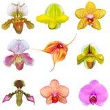 inställda orchids Royaltyfri Foto