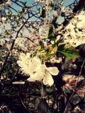 9 inställda underbara fjädertulpan för mood mångfärgade bilder Körsbärsröda blomningar i trädgården Arkivfoto