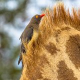 Insta affiché rouge d'oxpecker photographie stock