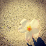Instagram of beautiful tropical flower in sand Stock Images
