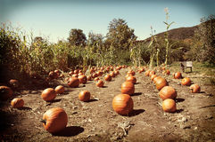 Instagram Pumpkin Patch Stock Image