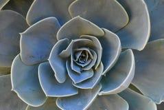 Installatie in bloesem op tuin De Mexicaanse sneeuwbal, Mexicaanse gem, witte Mexicaans nam toe Succulente installatie in een woe royalty-vrije stock afbeelding