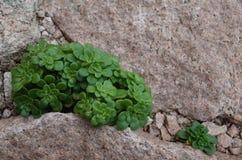 Installatie het groeien in de barsten van de steen stock fotografie