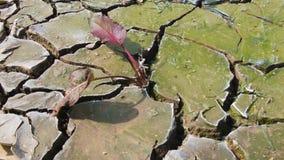 Installatie het groeien door gebarsten modder stock footage