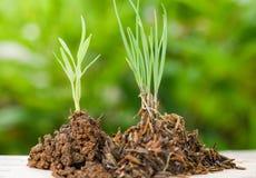 Installatie het groeien op grond/grond op hout met groene jonge planten die landbouw kweken en het zaaien stock foto