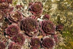 Installatie houseleeks Sempervivum succulent Dichte up2 Royalty-vrije Stock Afbeelding