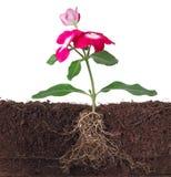 Installatie met bloemen en zichtbare wortel Stock Foto's