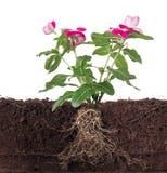 Installatie met bloemen en zichtbare wortel Royalty-vrije Stock Foto
