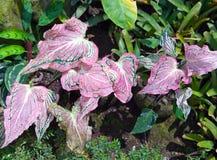 Installatie met decoratieve karmozijnrode bladeren - Caladium Royalty-vrije Stock Fotografie