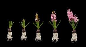 Installatie met geïsoleerdee bloem groeiende stadia Royalty-vrije Stock Foto's