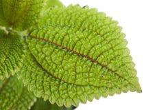 Installatie met groene bladerentextuur stock afbeelding