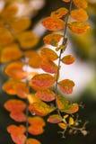 Installatie met oranje bladeren in Autumn Season met dichte omhooggaande mening stock afbeeldingen