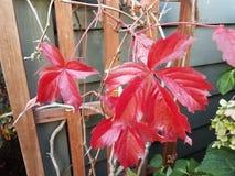 Installatie met rode bladeren op houten rooster stock foto's