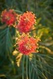 Installatie met rode en gele bloem die stamens de gouden spiraal maken stock foto