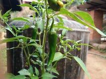 Installatie van groene Spaanse pepers stock foto's