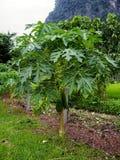 Installatie van papaja royalty-vrije stock afbeeldingen