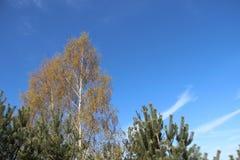 Installaties die Jonge Groene Bladeren in de Lente met Jonge Pijnboom ontluiken royalty-vrije stock foto