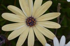 Installaties en bloemen van Costa Vicentina Natural Park, Zuidwestelijk Portugal Royalty-vrije Stock Foto's