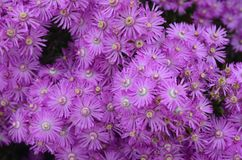 Installaties en bloemen van Costa Vicentina Natural Park, Zuidwestelijk Portugal Stock Afbeelding