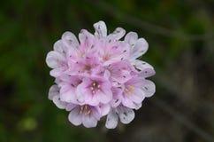 Installaties en bloemen van Costa Vicentina Natural Park, Zuidwestelijk Portugal Royalty-vrije Stock Foto