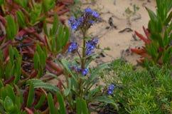Installaties en bloemen van Costa Vicentina Natural Park, Zuidwestelijk Portugal Royalty-vrije Stock Fotografie