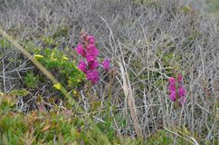 Installaties en bloemen van Costa Vicentina Natural Park, Zuidwestelijk Portugal Royalty-vrije Stock Afbeelding