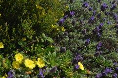 Installaties en bloemen van Costa Vicentina Natural Park, Zuidwestelijk Portugal Stock Afbeeldingen