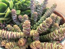 Installaties en tuinen: Succulents in een bloempot royalty-vrije stock foto