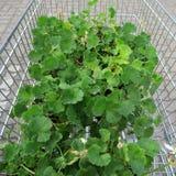 Installaties in kleine potten voor het planten in de tuin in het winkelen ca stock foto