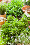 Installaties met bloemen en kruiden in tuin stock foto