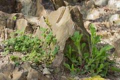 Installaties op de steenachtige helling Gras op een steen Levend en levenloos royalty-vrije stock foto's