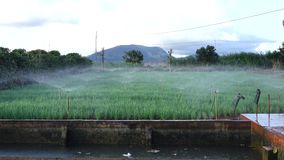Installaties van de sjalot de groene ui in de tuin, de stad van DA Lat, Lam Dong-provincie, Vietnam stock footage