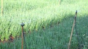Installaties van de sjalot de groene ui in de tuin, de stad van DA Lat, Lam Dong-provincie, Vietnam stock video
