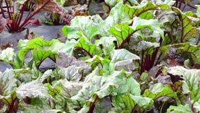 Installaties van de sjalot de groene ui in de tuin, de stad van DA Lat, Lam Dong-provincie, Vietnam stock videobeelden