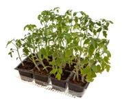 Installaties van tomaat Royalty-vrije Stock Foto's