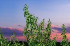 Installaties van weiden en gebieden - hennep, cannabis, marihuana stock foto's