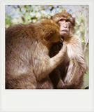 Instant photo of Barbary macaque Royalty Free Stock Photography