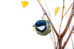 Instant photography allows you to see oxeye Great Tit of air balancer Royalty Free Stock Photos