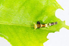 Instar caterpillar of common mormon butterfly Stock Photo