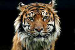 Instinct. A critically endangered Sumatran Tiger glaring at the viewer Stock Photos