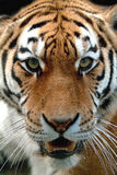 Instinct - tiger. Up close and personal with a Tigress Royalty Free Stock Photo