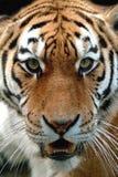 Instinct - tijger Royalty-vrije Stock Foto