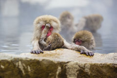 Instinct: Wild Baby Snow Monkey Cleaning Mom Royalty Free Stock Image